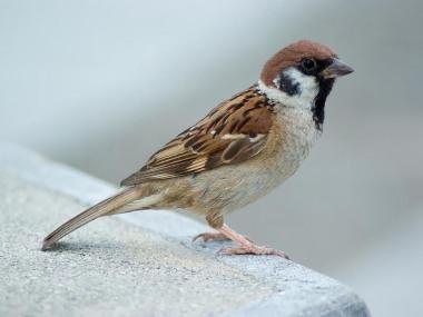Sparrow,_Eurasian_Tree_Laitche