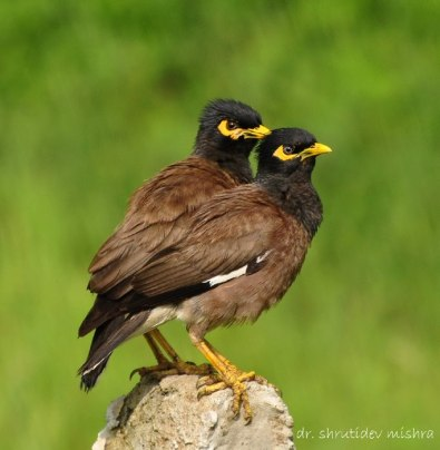 Common Mynas