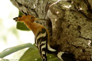 Hoo Poes or Wood pecker