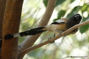 Indian Rufous-Treepie