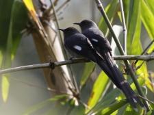 Long tailed Sibias