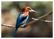 Indian Kingfisher