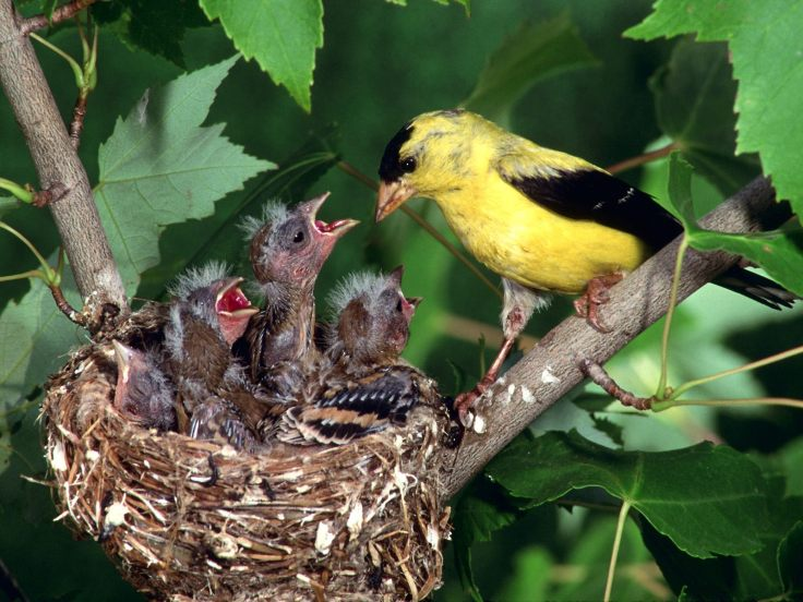 Birds-with-babies-in-tree-nest