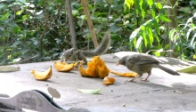 Lunch Time: A Squirrel and A Jungle Babbler Tastes a Mango - This is a usual scene in our backyard. They never fight each other and share the food we offer :)