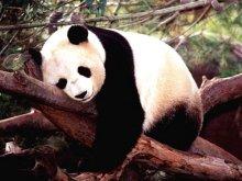 Panda (9)