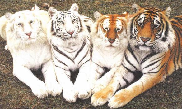 Bali Tiger Propel Steps