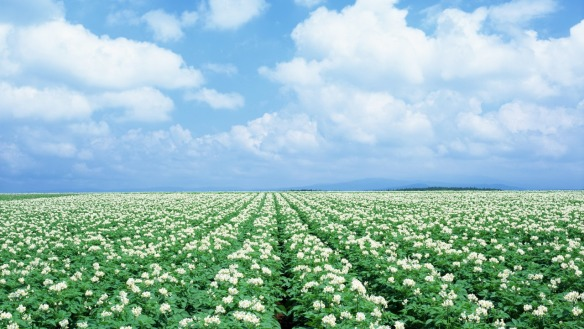 Potato Field : Courtesy : Wallpaper.net