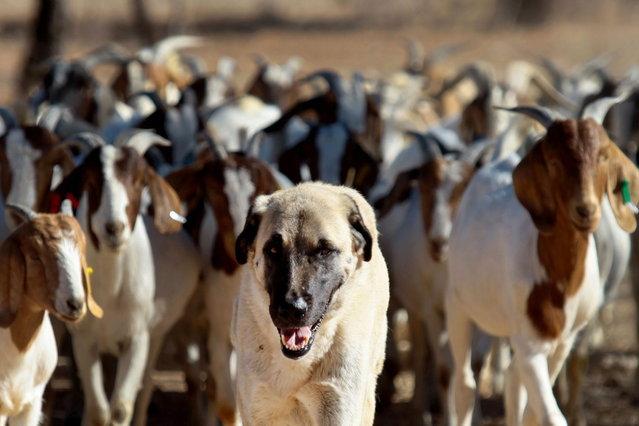 sheperd dog3