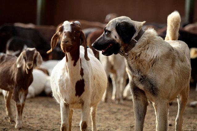 sheperd dog6