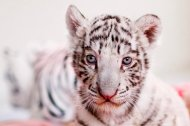 White Tiger Cub in Peru