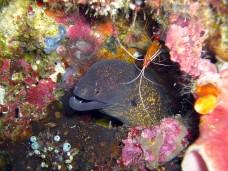 A Yellow Margin Moray Eel