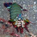 Mantis Shrimp or Crazy Rainbow Alien
