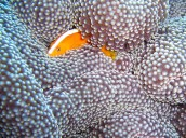 Racing Stripe Anemone Fish Engulfed
