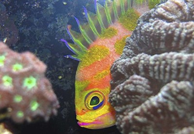 Borbonius Anthias Fish