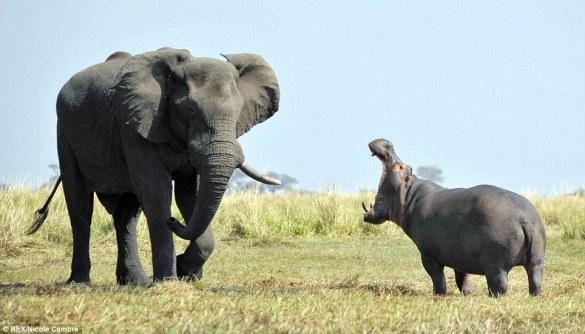 Hippopotamus (3)