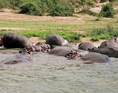 Hippopotamus (4)