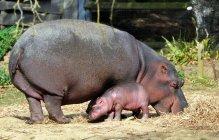 Hippopotamus (6)
