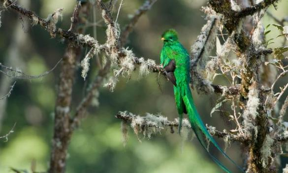 Resplendent Quetzal (1)
