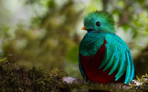Resplendent Quetzal (10)
