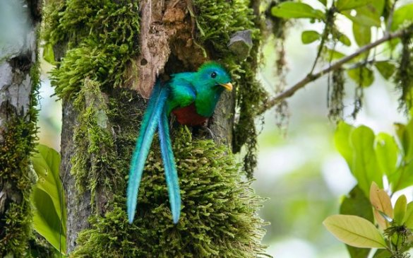 Resplendent Quetzal (3)