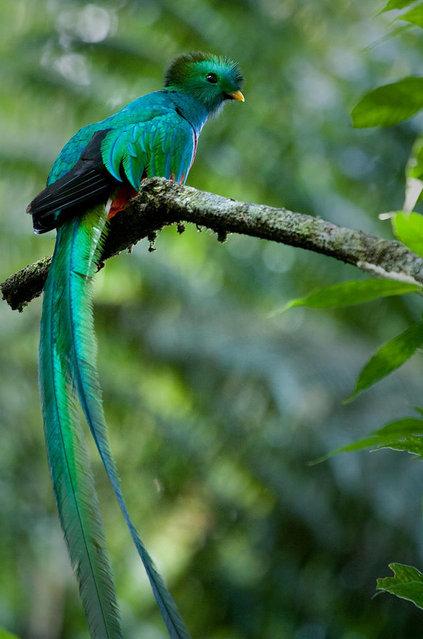 Resplendent Quetzal (4)