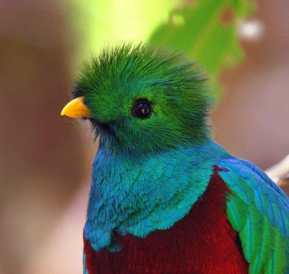 Resplendent Quetzal (5)