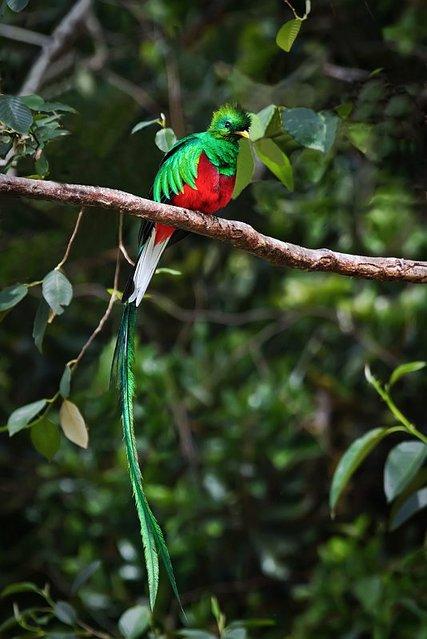 Resplendent Quetzal (6)