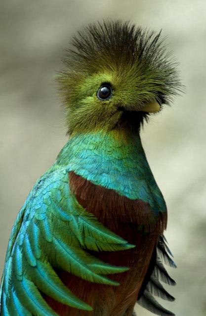 Resplendent Quetzal (7)