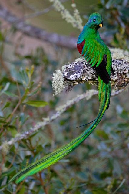 Resplendent Quetzal (9)