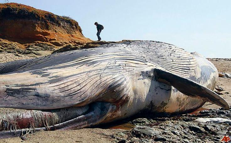 beached-blue-whale-2010-10-7-16-0-55