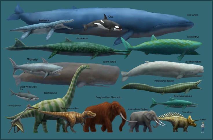 Blue-Whale-Size-Chart