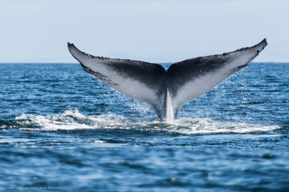 Blue whale (Balaenoptera musculus) tail fluke on dive -1 [Correc