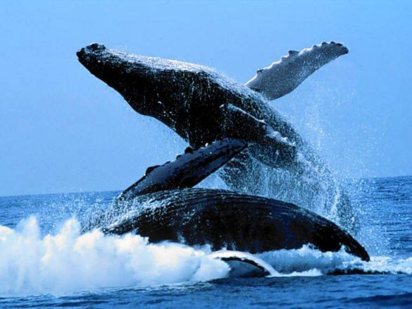 blue-whale-wallpapers-6