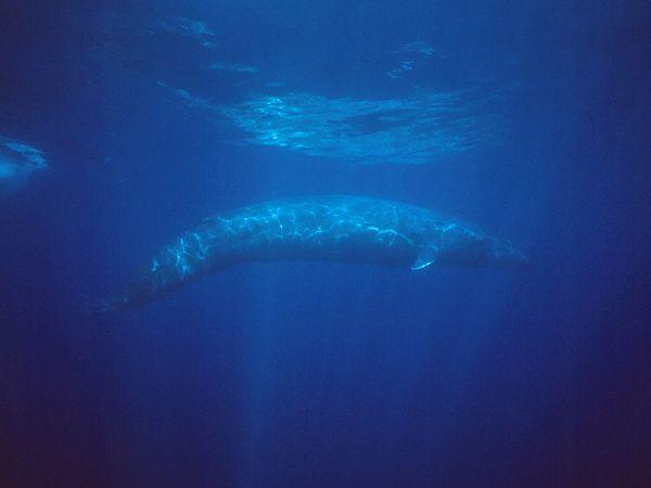 blue-whale_477_600x450