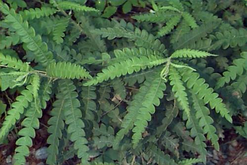 Sweet Fern – Comptonia peregrina