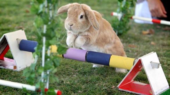 942160-rabbit-showjumping-at-royal-easter-show