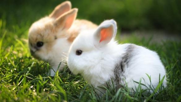 Rabbit_Wallpaper_6