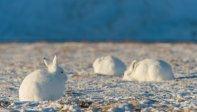 Arctic Hare (10)