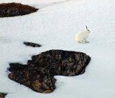 Arctic Hare (12)