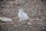 Arctic Hare (15)