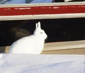Arctic Hare (17)