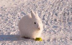 Arctic Hare (2)