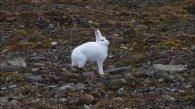 Arctic Hare (20)