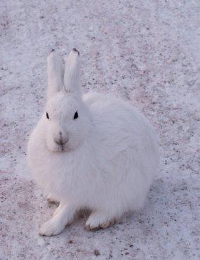 Arctic Hare (21)