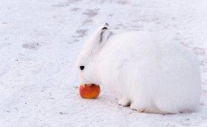 Arctic Hare (22)