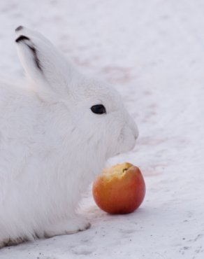 Arctic Hare (23)