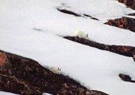 Arctic Hare (24)