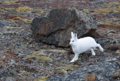 Arctic Hare (29)