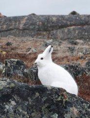 Arctic Hare (30)