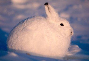 Arctic Hare (32)